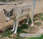 Wolf pictures, spring coat Picture
