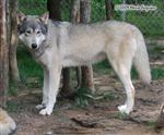 Wolf picture, leggy Wolf Picture
