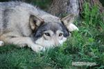 Wolf pictures, Chito getting sleepy Picture