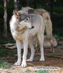 Wolf pictures, looking Picture