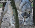 Wolf pictures, submissive greeting Picture
