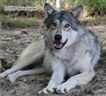 Wolf pictures, beautiful eyes Picture