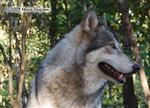 Wolf pictures, profile Picture
