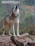 Wolf pictures, solo howl Picture
