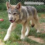 Another 12 week old Wolf pup picture Picture