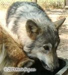 Wolf Pup in August picture Picture