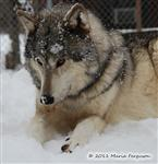 Wolf picture, snow face Picture
