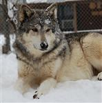 Wolf pictures, Chito's snow day XI Picture