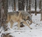 Wolf pictures, the Wolf walk Picture