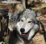 Wolf pictures, Alpha Female Picture