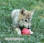 Wolf pup enrichment picture Picture