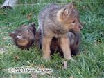 Wolf Pup being dominate picture Picture