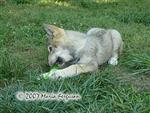 Wolf pups with fill and freeze bones picture Picture