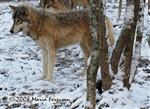 Female Wolf in Snow Picture
