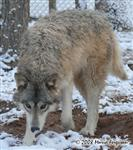 Wolf stalking in snow picture Picture