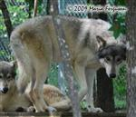 Wolf pictures, watching Picture