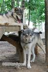 Wolf pictures, up to no good Picture
