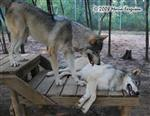 Wolf pictures, let's play Picture