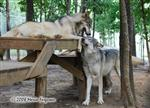 Wolf pictures, scent rub Picture