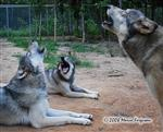 Wolves picture, summer howl Picture