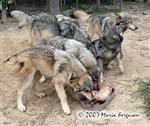 Wolf pups solicit cow legs picture Picture