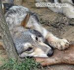 Wolf pup chillin with food picture Picture