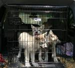 Wolf pups in crate picture Picture