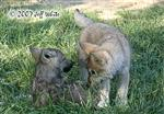 Wolf pup fight picture IX Picture