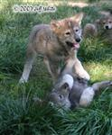 Wolf pups fight picture III Picture