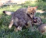 Wolf pups fight picture IV Picture