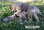 Wolf pup fight picture V Picture