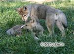 Wolf pups fight picture VI Picture