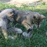 Wolf pup fight picture VIII Picture