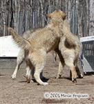 A Wolf squabble picture Picture