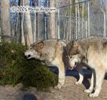 Wolves eating treats picture Picture