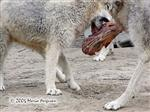 Wolves squabble over food Picture