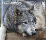 Lovely Nita, wolf pup pic Picture
