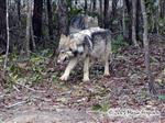 Female Wolf Pup Picture
