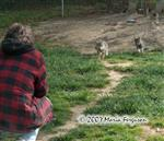 Wolf Pups run to Grandpa picture Picture