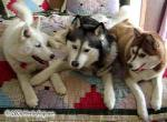 Siberian Husky Models Picture