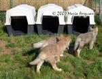 Wolf Pups check out houses picture Picture