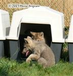 Wolf Pup visits picture Picture