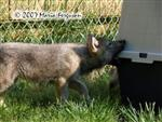 Wolf pup eats new house picture Picture