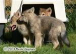 Wolf Pups at the door picture Picture