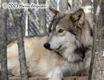 Wolf King picture Picture