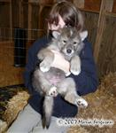 Big Girl Wolf Pup picture Picture
