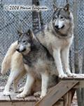 Wolf sisters picture Picture