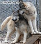 Protective Wolf picture Picture