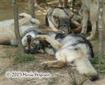 Upside down Wolf picture Picture