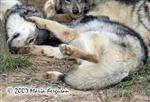 Wolves love pups picture Picture